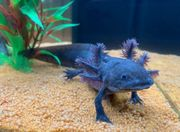 Melanoid Axolotl BD frei Versand