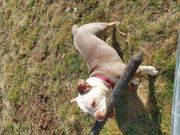 New English Bulldogge zu verkaufen