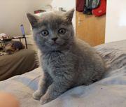 Reinrassige BKH Kitten - blue