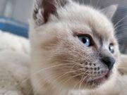 BKH blue point Kitten reinrassig