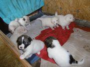 Welpen Pyrenäenberghund Mix Herdenschutzhund