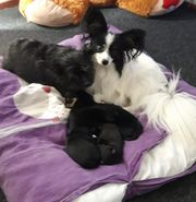 Welpen Yorkshire Papillon Mix