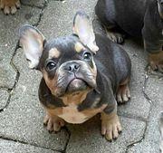 reinrassig französische Bulldogge