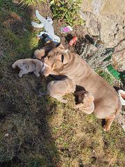 New Englisch Bulldoggen Welpen in
