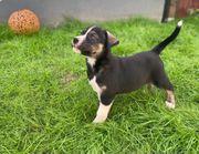 Husky x Bulldog Welpen abgabebereit