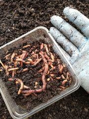 50 St Riesen Rotwürmer Big