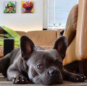 Französische Bulldogge Deckrüde in blau