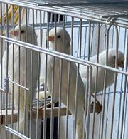 Kanarienvögel