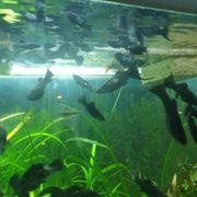 Aquarienfische Black Mollys