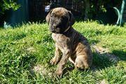 Deutsche Doggen reinrassige Welpen in