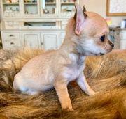 Teacup und Mini Chihuahua mit