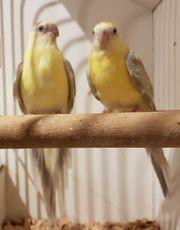 Ein Paar Singsittiche Opalin