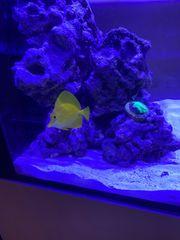 Hawai Doktor Fisch gesund und