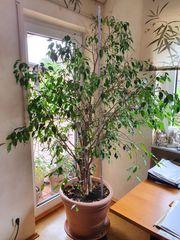 Ficus Benjamina Benjamini Birkenfeige 160
