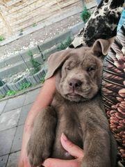 Labrador silber charcoal