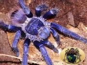 Vogelspinnen und weitere wirbellose Tiere