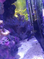 Korallen xenien