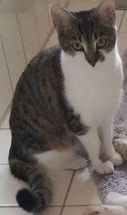 Katze entlaufen Kurzhaar