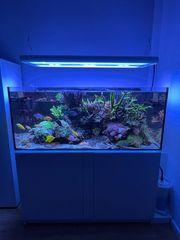 Hawaii Doktor - Zebrasoma flavescens - Meerwasser