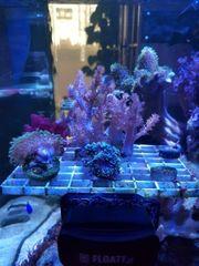 Korallenableger Pilzlederkorallen Keniabäumchen Meerwasser