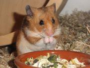 zuckersüße Labor-Hamster