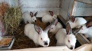 junge Stallhasen Kaninchen Kalifornier Hasen
