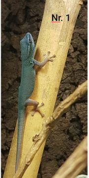 2 0 Lygodactylus williamsi