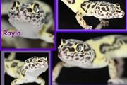leopardgecko tausch