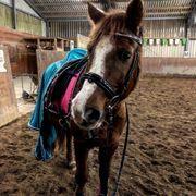 Reitbeteiligung an lieben Ponywallach
