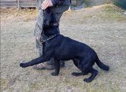 Schäferhundrüde in schwarz