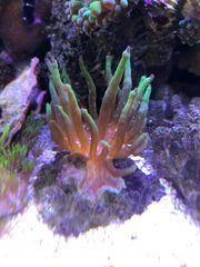 Korallen Anemonen hier Crassa Anemone