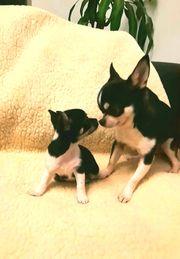Wunderschöner reinrassigen Chihuahua Deckrüde