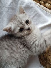 Perser-BKH-BLH-Kitten