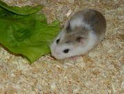 1 Piebald Zwerghamster Weibchen Hamster