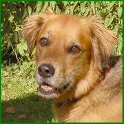 Friedi - Goldie-Schäfer-Mix - 7 Jahre - Tierhilfe