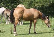 Quarter Horse Wallach buckskin 1-jährig