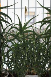 Aloe Vera aborescenc