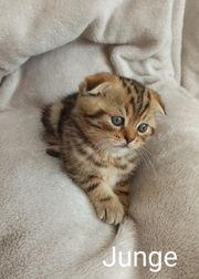 Kitten reinrassig
