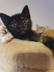 Kitten EKH 1 kätzchen 1