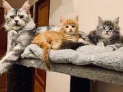 Maine Coon Kätzchen Kätzchen