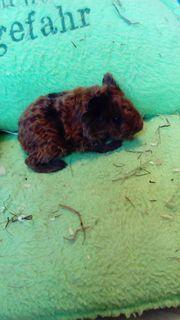 Us Teddy Meerschweinchen Böckchen