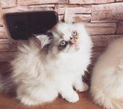 Perser Baby mit blauen Augen