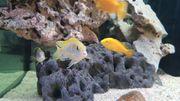 Gebe günstig Malawibarsche Labidochromis sp