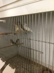 Prachtfinken