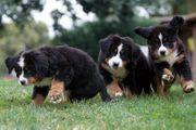 Berner Sennenhund Welpen - Wurfankündigung mit