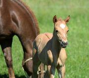 quarter Horse Hengst red dun
