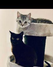 BKH Bombay Katze suchen gemeinsam