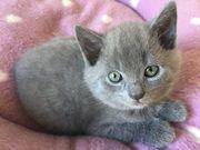 Chartreux / Kartäuser Kätzchen