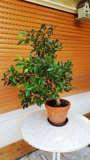 Kleinblättriger Ficus