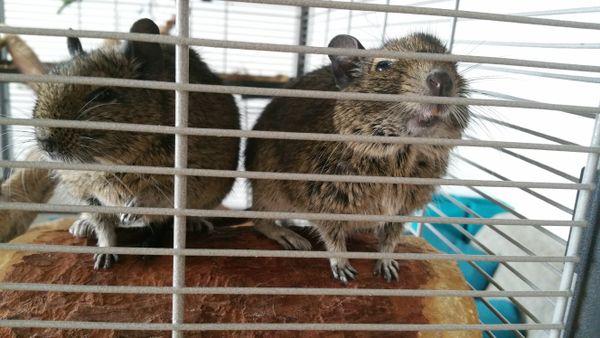 3 Degus + Käfig » Kleintiere